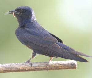 Male Purple Martin with bug