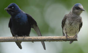 Male and female Purple Martin