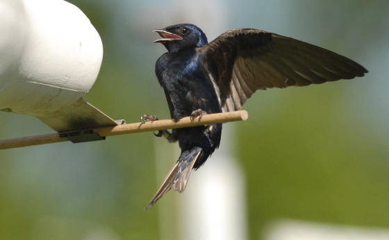 After-second-year male Purple Martin