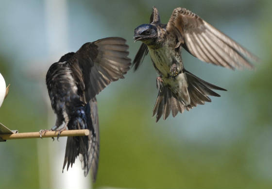 Second-year male surprising an after-second-year male Purple Martin