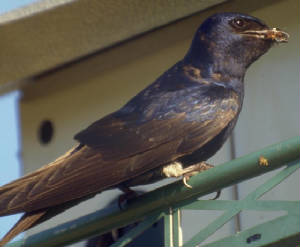 Black-belly male Purple Martin